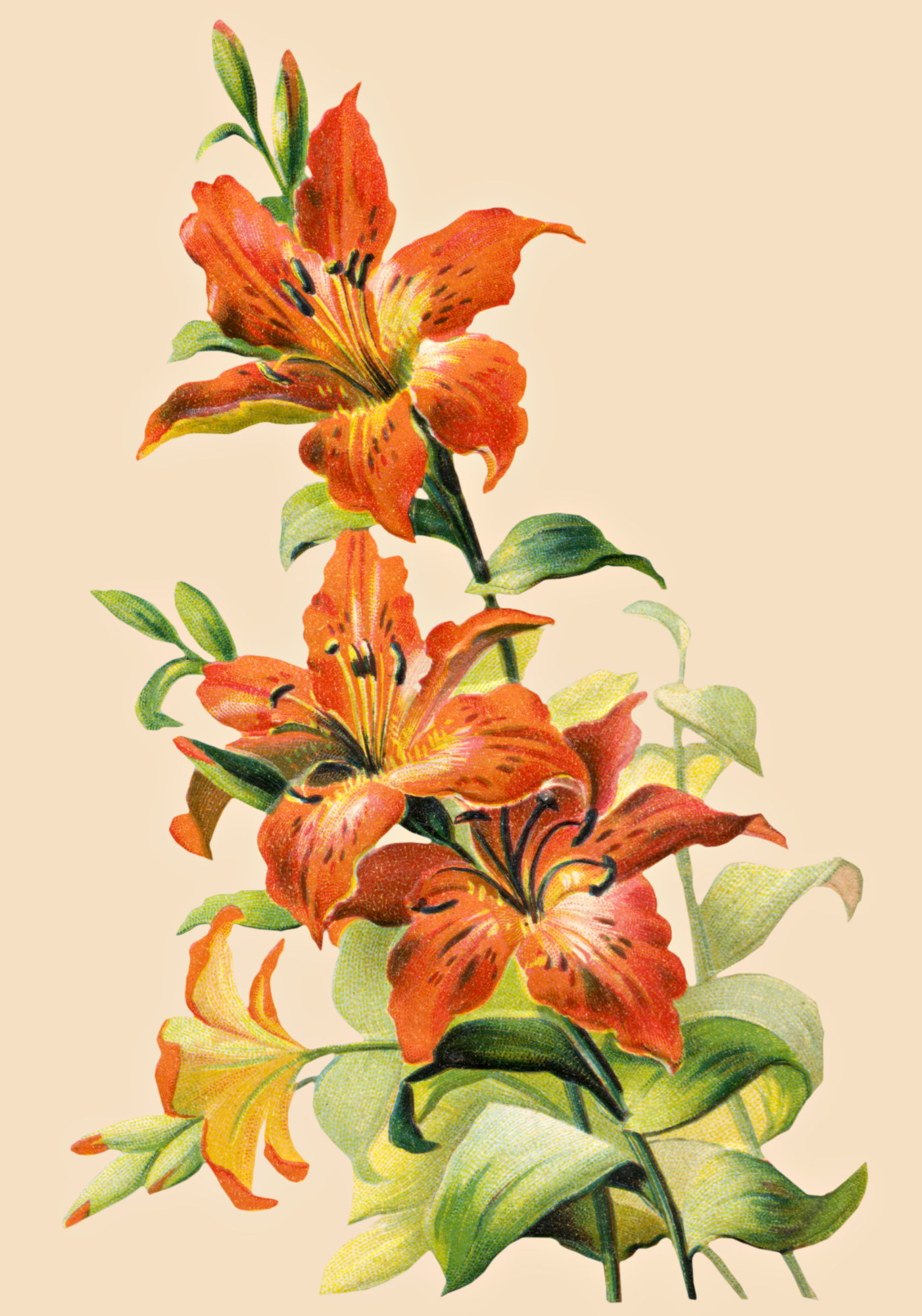 Pin Tiger Lily on Pinterest